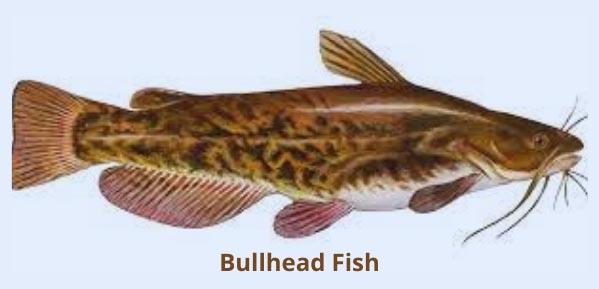 Can you eat bullhead fish
