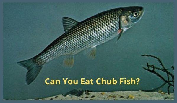 Can You Eat Chub Fish?